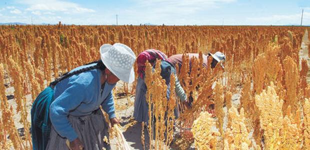 CIPCA: quinua puede afectar cultivo nativo y ganado | Erbol Digital Archivo