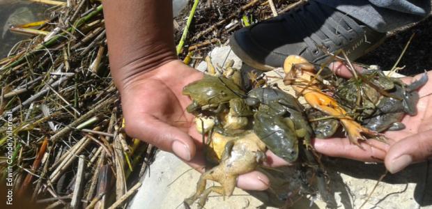 Ranas gigantes fueron alladas muertas y agonizantes e la Isla Pata Patani