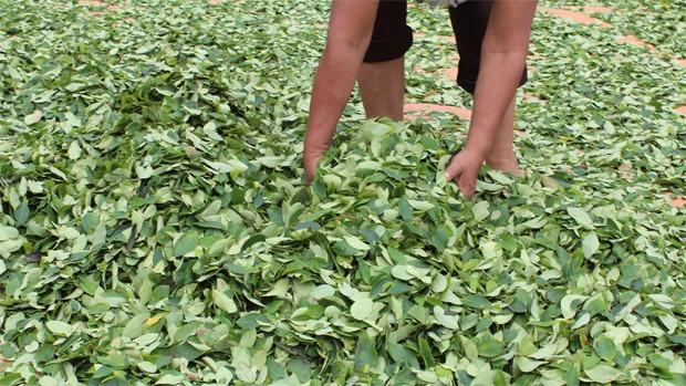 Cultivos de coca se incrementaron de 20.200 hectáreas a 23.100