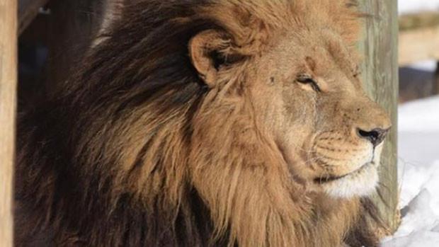 Joven pasante murió atacada por un león en un zoológico - Mundo