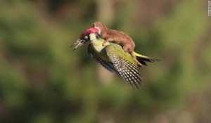 Pájaro carpintero y una comadreja foto viral de Martin Le-May